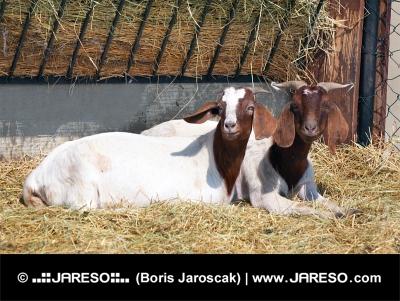 Kozy v ohrade na farme