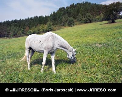 Biely kôň sa pasie