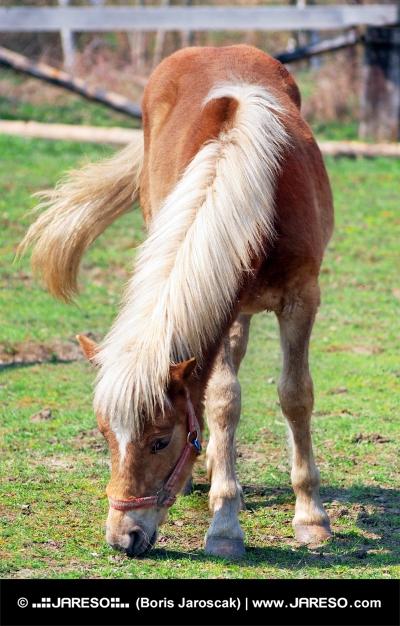 Hnedý kôň s bielou hrivou na pasie na ranči
