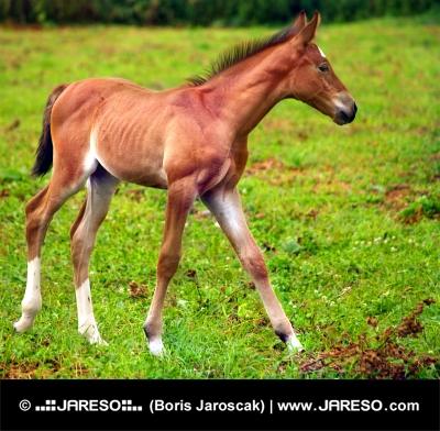 Mladý koník cvála na zelenej lúke