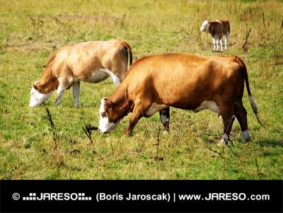 Tri kravy na lúke