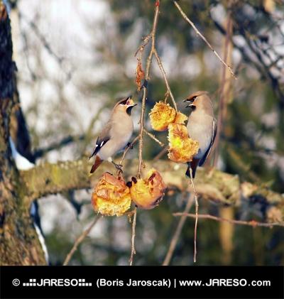 Malé vtáky sa kŕmia na ovocí