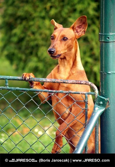 Pes sa pozerá ponad plot
