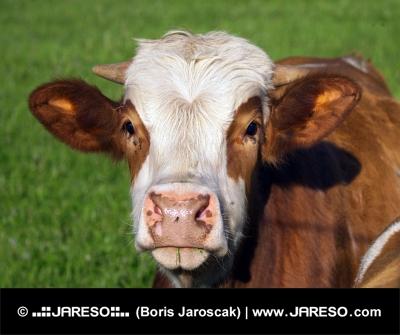 Portrét hnedo-bielej kravy