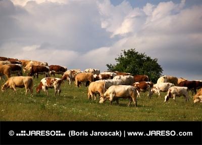 Kravy sa pasú na lúke