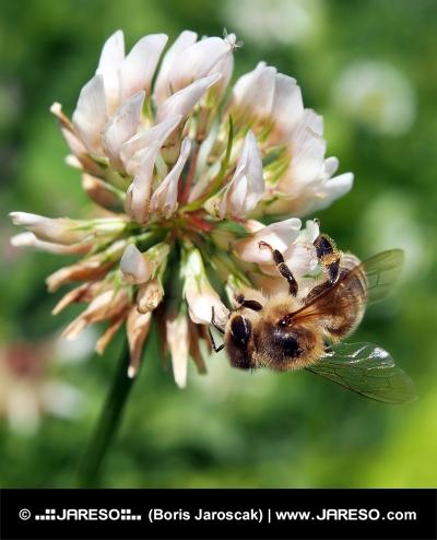 Včela opeľuje kvet ďateliny