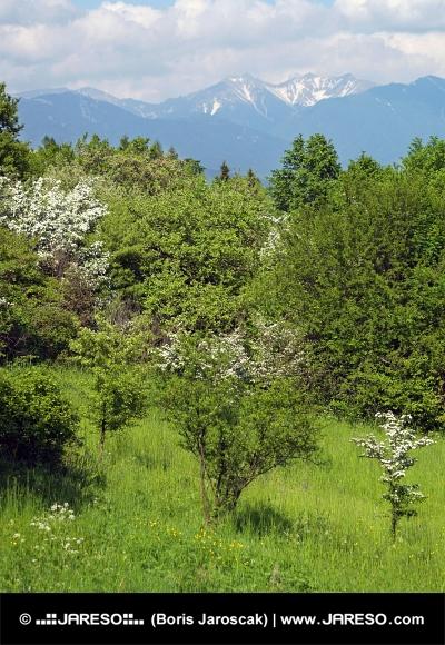 Vrcholky Roháčov a zelené stromy