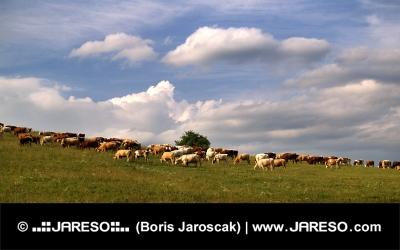 Stádo kráv na lúke