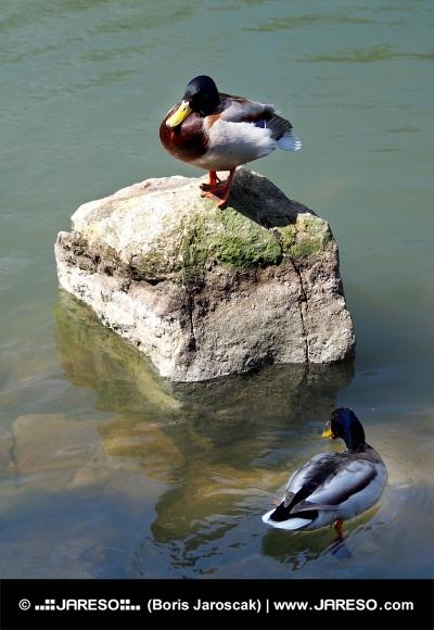 Dve kačice oddychujú v jazierku