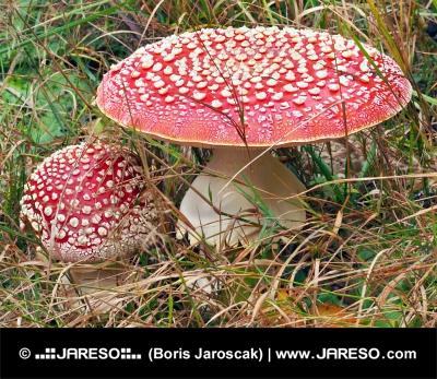 Dve muchotrávky červené v tráve