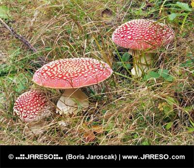 Tri červené muchotrávky vo vysokej tráve