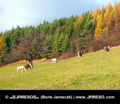 Kone pasúce sa na jesennom poli