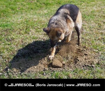Pes hrabe dieru do zeme na poli